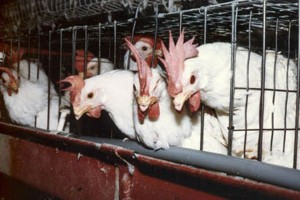 Battery caged hens. Source peta.org.