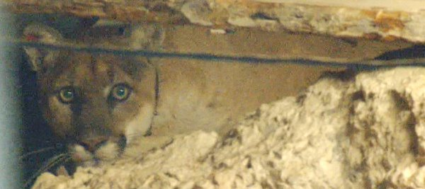 mountain lion in crawl space
